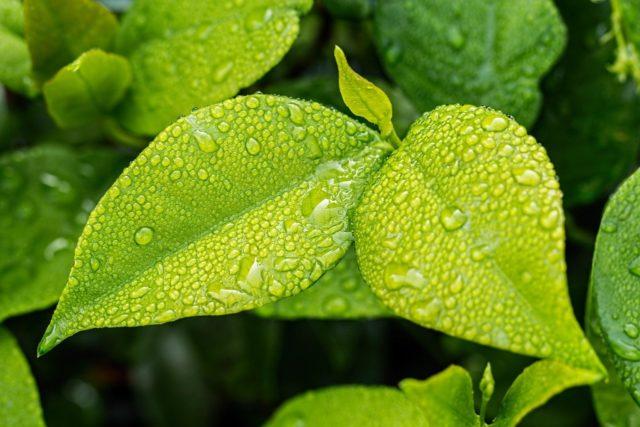 leaf, green, foliage